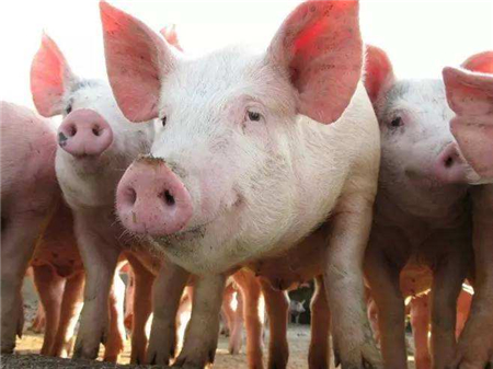 7月开始猪价将上涨30%,猪价变化方向清晰!