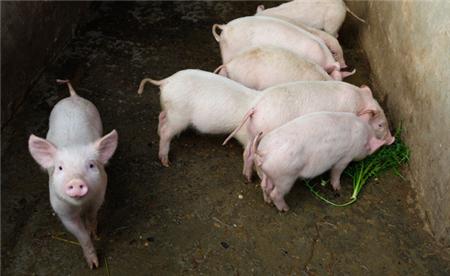 7月第一天猪价上涨!半月以来首次!