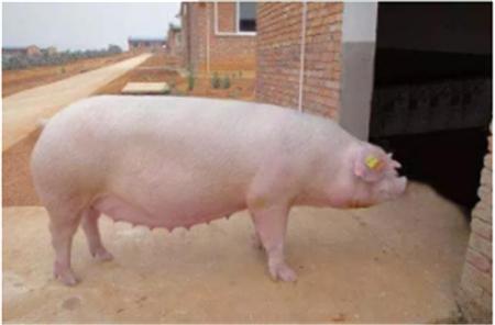 三年内猪价走势如何?请看数据说话!