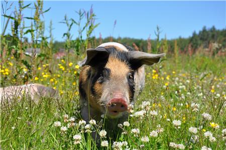 猪价利好因素不具持久性?猪友:你爱涨不涨……
