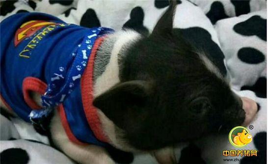 宠物小香猪公猪和母猪的价格是不同的,那么一只大约要多少钱呢?