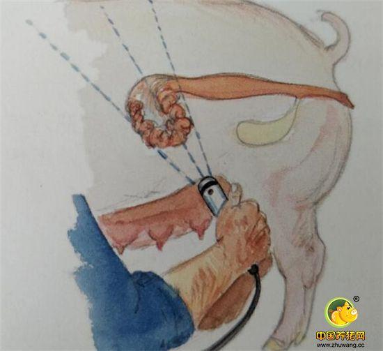 不同时间段胎儿在母猪体内的样子——B超B超母猪的怀孕情况方法