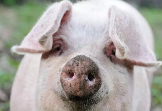 利好消息!养猪大企都看好生猪行情,7月值得期待!