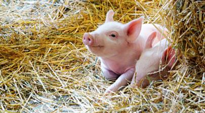 """成本论的养猪企业""""暴露""""了一个问题?"""