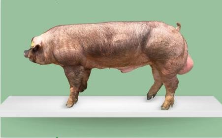 亏损1.6亿元!养猪大企正邦二季度巨亏背后发生了什么?