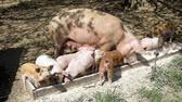 猪场里面小猪毛病多说明养猪人不会喂料,这些小技巧早知道!