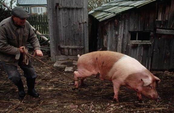 猪场环保告急,养殖户无从下手,盘点时下流行的两种粪污处理模式!
