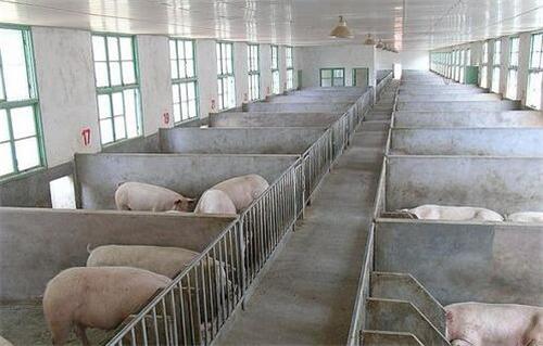猪友分享:卖猪时被猪贩坑的全过程!希望别经历我的遭遇!
