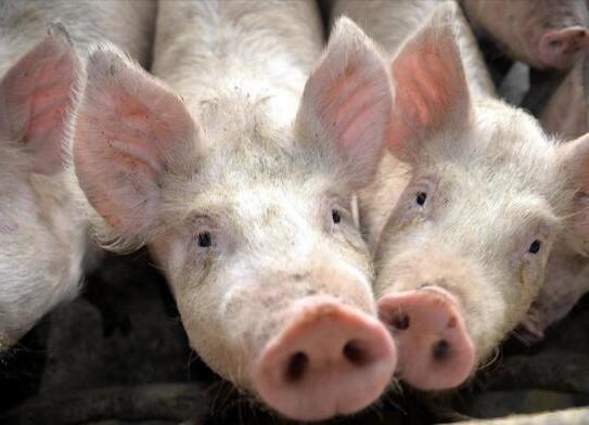 进入七月猪价涨不停,这三点导致总体趋势弱势难改!
