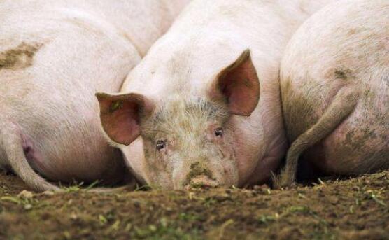 养猪人请注意,只有这种理财方式才能保住自家的小猪仔!