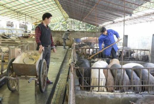 养猪场被罚35万,规模化猪场苦不堪言,散养户却拍手叫好?