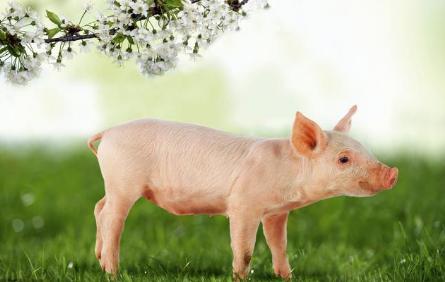 猪肉出口大门恐将彻底关闭?美农恐惧情绪增加……
