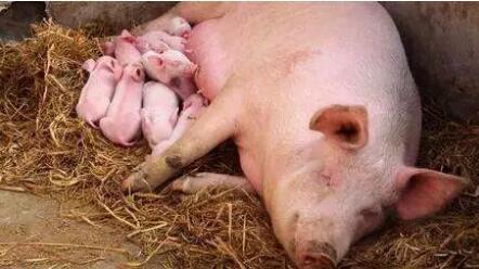 其实你不知道,初产母猪分娩时,跳十次楼的想法都有!