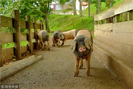 农业农村部:6家企业种公猪性能不合格率超20%!
