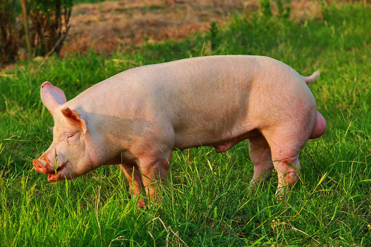 短期上涨趋势不会改变,猪好仍然可以压栏