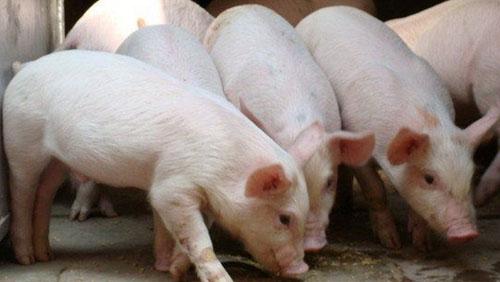 玉米新粮供应紧张局面初显?南方饲料企业恐将承受高价之痛