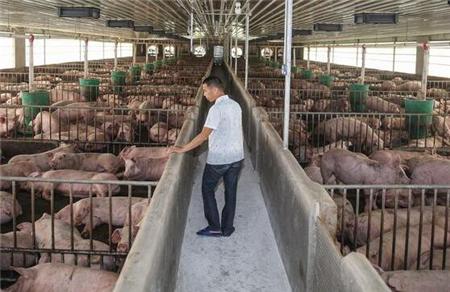 夏季猪舍降温,母猪缩短产程,仔猪断奶后饲养管理!