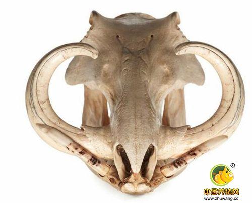 疣猪拥有十分强壮的獠牙,这些獠牙帮助它们掘地,找食物和抵抗侵略者。