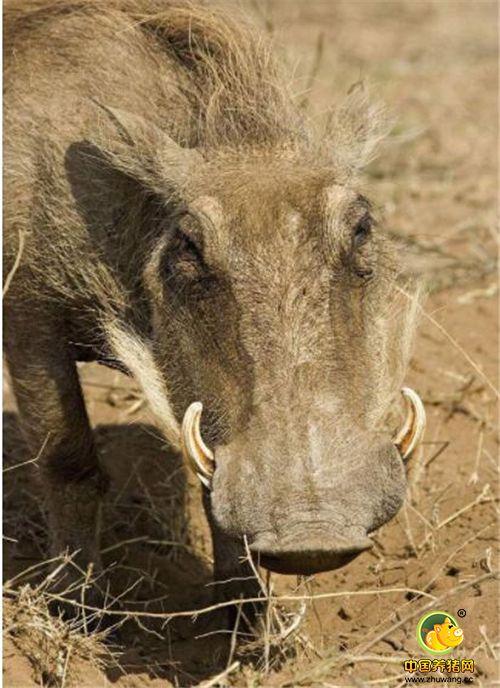 疣猪喜欢打地洞,之后钻进地下去睡觉。既可以躲避天敌,也能避暑。