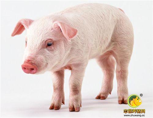 """被称为""""人类的好朋友""""的猪,看起来也有那么一点可爱!"""