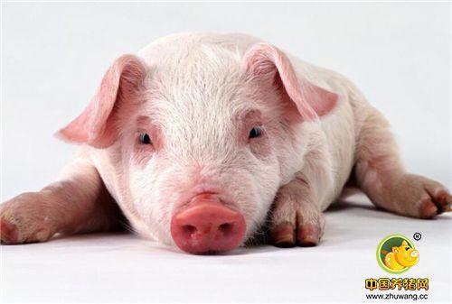 平常看起来很懒很邋遢的猪,经过一番打扮后还是挺漂亮的呢。