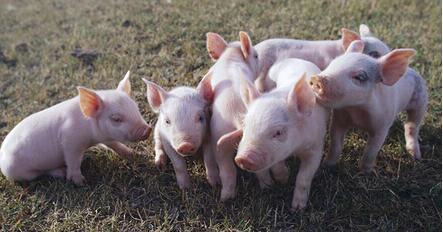 生猪价格急速上涨,屠宰场猪白条肉价格也在上涨,但是上涨的速度跟不上生猪价格,直接屠宰场毛利减少。一旦利益受到威胁,就必然有所行动