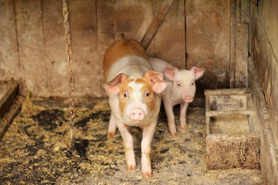 健康安全问题、猪价影响及扩散情况?直击非洲猪瘟问题!