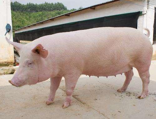 今日猪价——2019年3月15日最新生猪价格报价