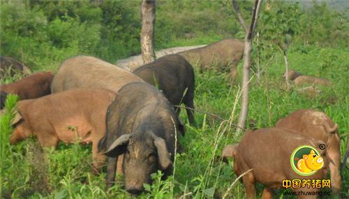 生态养猪,未来养猪的又一发展方向 !