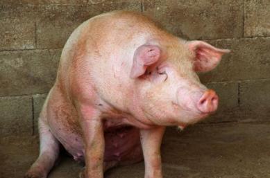 为落实国务院防控非洲猪瘟专题会议要求,9月18-21日,农业农村部联合公安部、卫生健康委组成第一联合督查组,赴内蒙古、黑龙江、吉林开展非洲猪瘟防控工作督查。