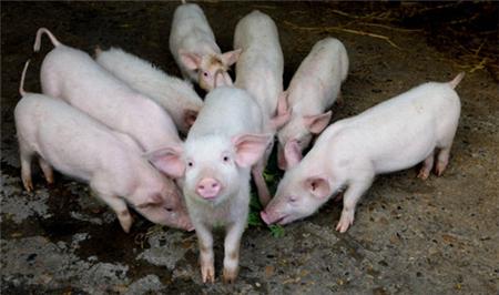 要想仔猪成活率再提高20%,这一步绝不可少!