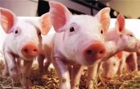 猪产房的饲养管理程序,建议收藏!