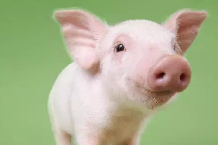 全国大部分屠宰场结算价呈现稳定为主,涨价主要集中在华南、西南、华中地区,南方适重猪源较少,屠宰企业提价意愿渐浓。而东北地区猪价有下调现象,