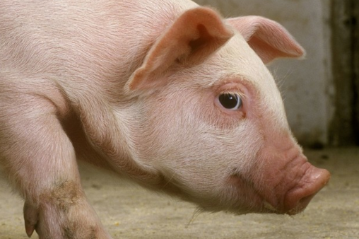 全国猪料比价为4.8:1,同比降13.18%;猪粮比价7.11:1,同比降7.45%。自繁自养出栏头均盈利119.16元。