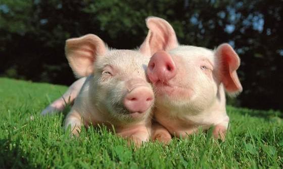京津冀地区首次出现非洲猪瘟疫情,目前疫情已经涉及九省(直辖市),形势仍非常严峻,猪市即将面临的考验还很多!