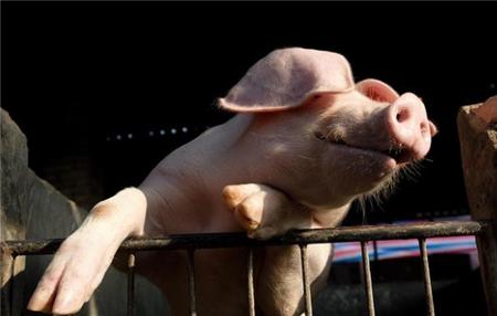 猪蛔虫病的有效控制和防制措施