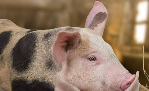 阳性样品来自鞍山市台安县桑林镇一养殖户,该养殖户存栏生猪180头、发病14头、死亡14头。