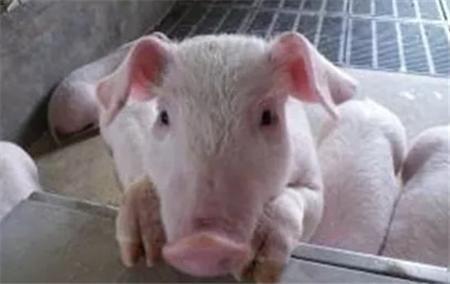 如何有效提高二胎母猪繁殖性能?饲养母猪的正确方法