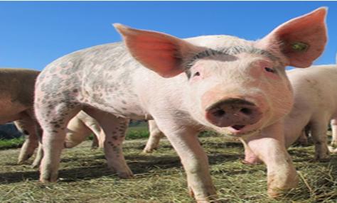 貴州省首現非洲豬瘟?云貴川已有兩地