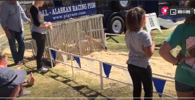 加利福尼亚的小猪快跑比赛,告诉你猪也是有速度的!