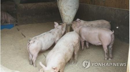 韩国接连爆发非洲猪瘟致肉价飙升 会是台风惹的祸?