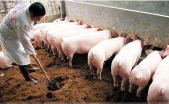 养猪成首富?养猪大佬:每月进账10亿,一年卖1100万头猪