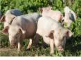 日本媒体:中国养猪场!简直就是游乐园