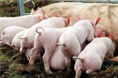 「农业政策」养猪不用担心!加大补贴!