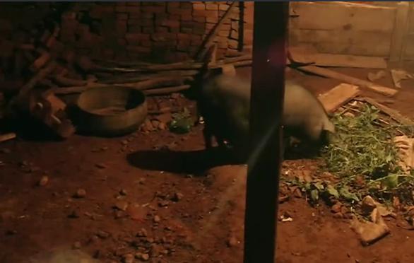 变形计:一头猪引起了注意,它竟然大胆的在门口睡!