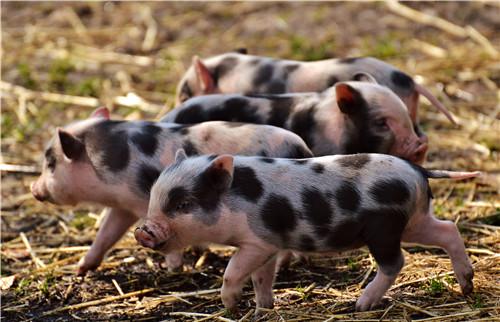 """""""炫富""""的新高度,家里养猪的可都是大户人家啊"""