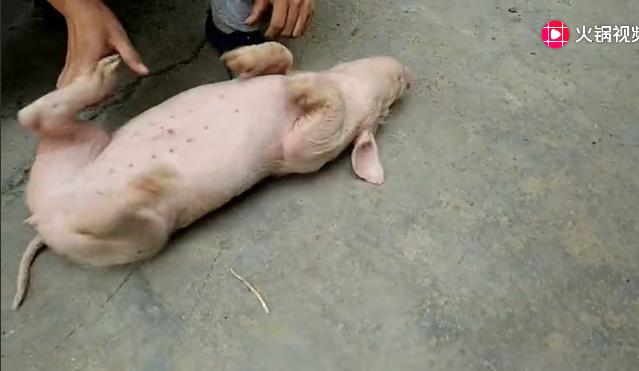小猪装睡主人怎么也叫不醒,最后女主人奇招终叫醒!
