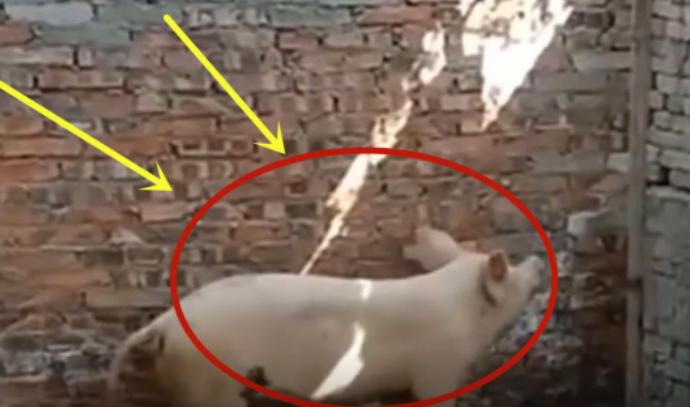 这只猪两腿一蹬,直接就翻过了2米高墙,怕是二师兄的转世!