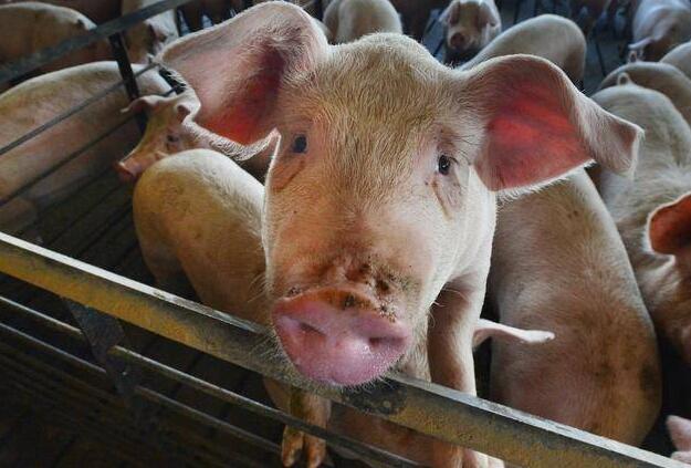 韩媒称韩国5天未现非洲猪瘟新疫情,正进行二次防疫!