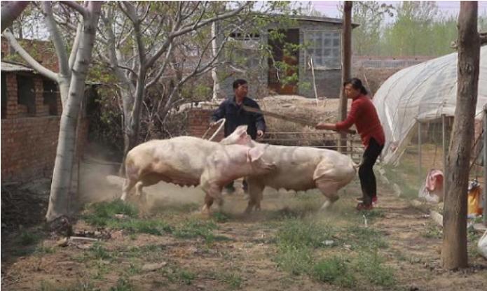 大叔放猪锻炼,原来母猪是这样打架的啊
